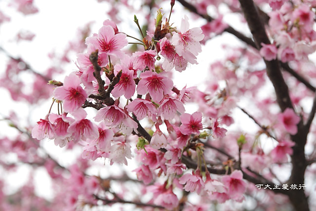 Formosa Cherry_46
