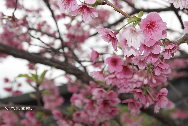 Formosa Cherry_37