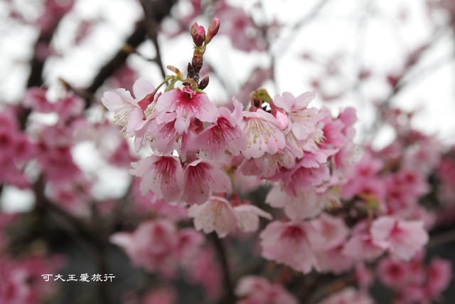 Formosa Cherry_34