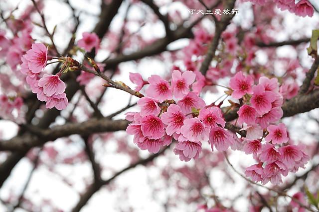 Formosa Cherry_60