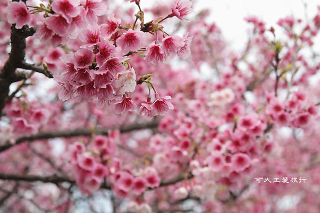 Formosa Cherry_97