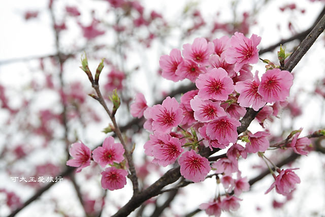Formosa Cherry_27
