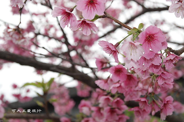 Formosa Cherry_36
