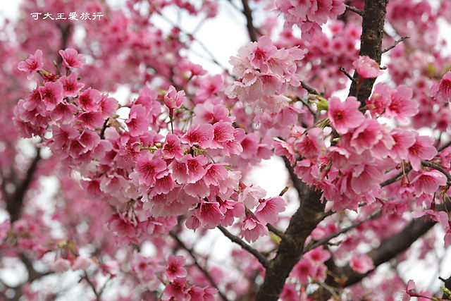 Formosa Cherry_87