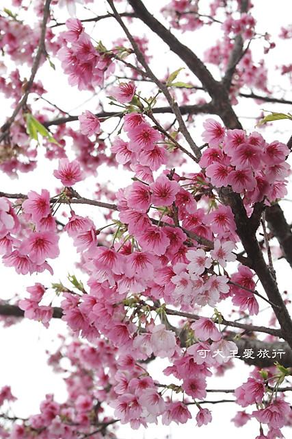 Formosa Cherry_38