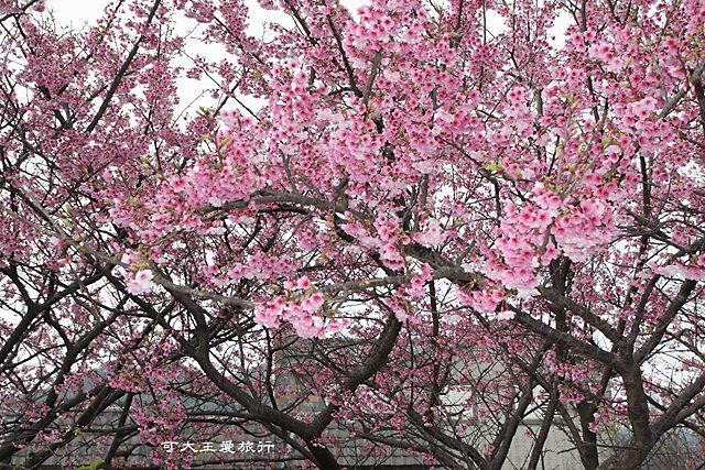 Formosa Cherry_58