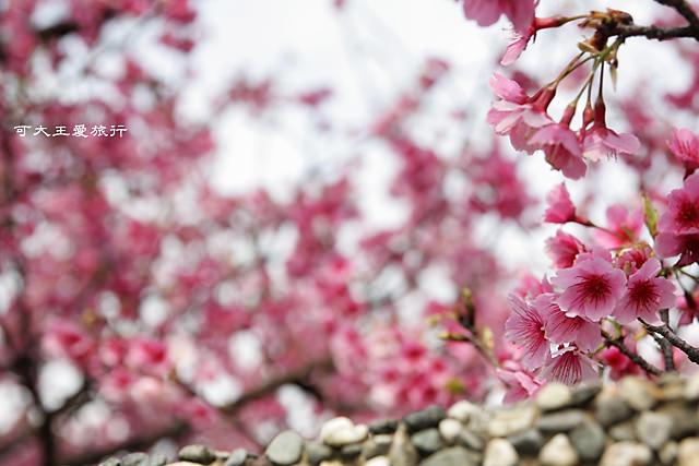 Formosa Cherry_86
