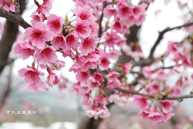 Formosa Cherry_47