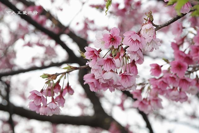 Formosa Cherry_56