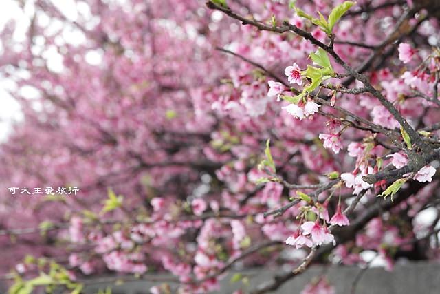 Formosa Cherry_54