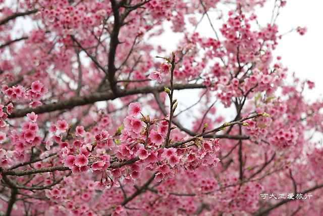 Formosa Cherry_91