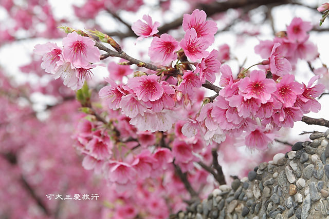 Formosa Cherry_79