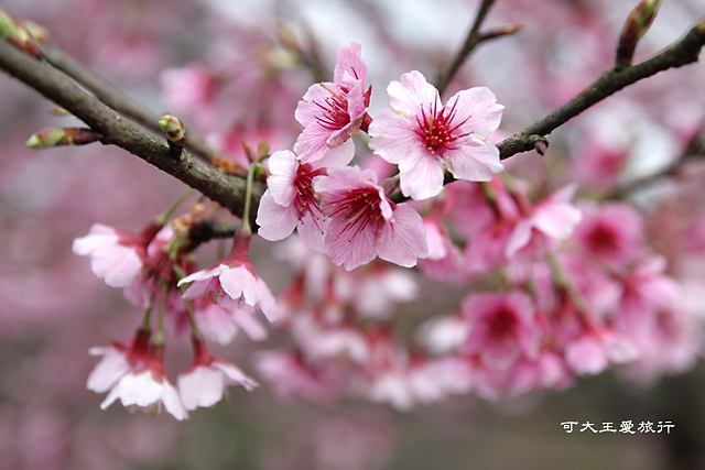 Formosa Cherry_3