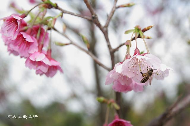 Formosa Cherry_84