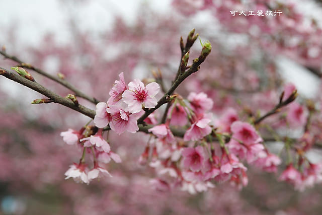 Formosa Cherry_1.jpg