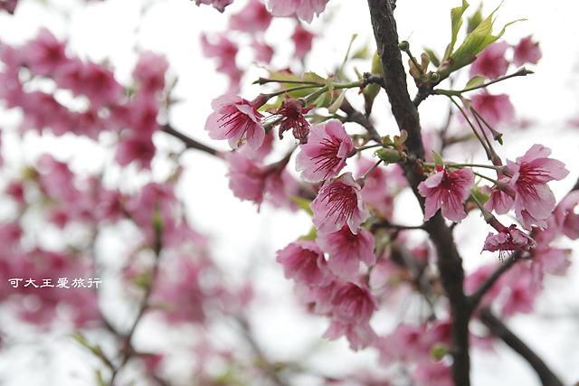 Formosa Cherry_15